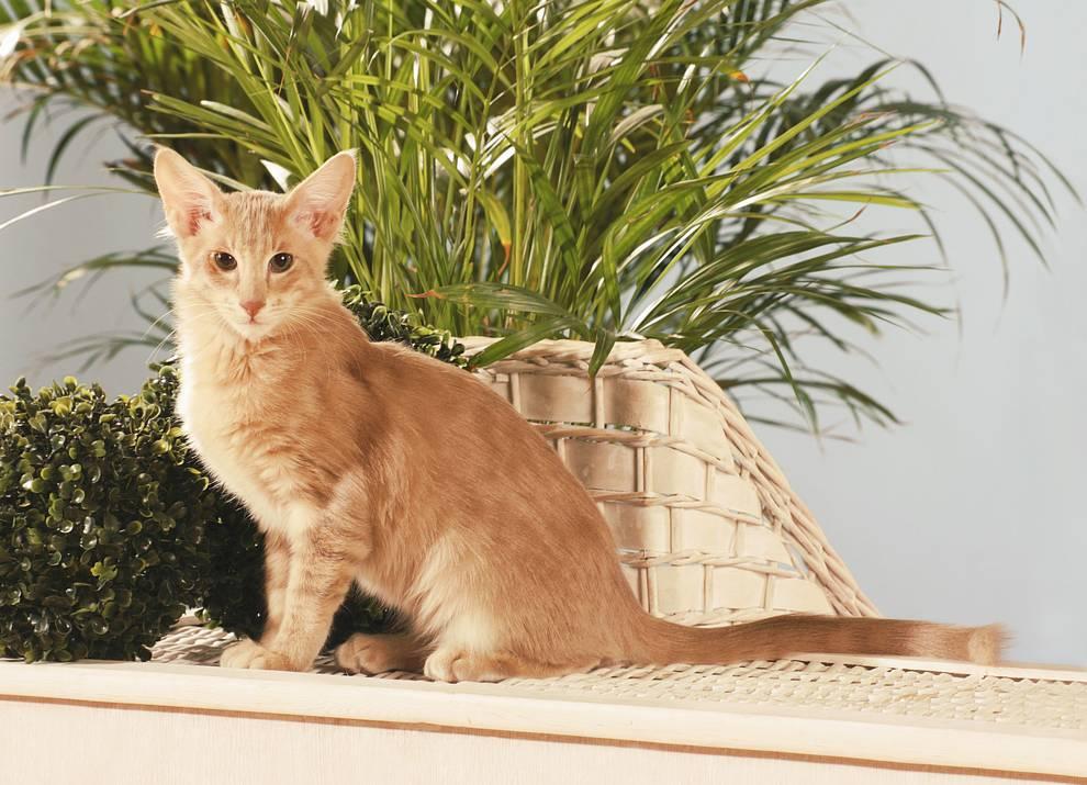 Яванская кошка (яванез): фото, описание породы
