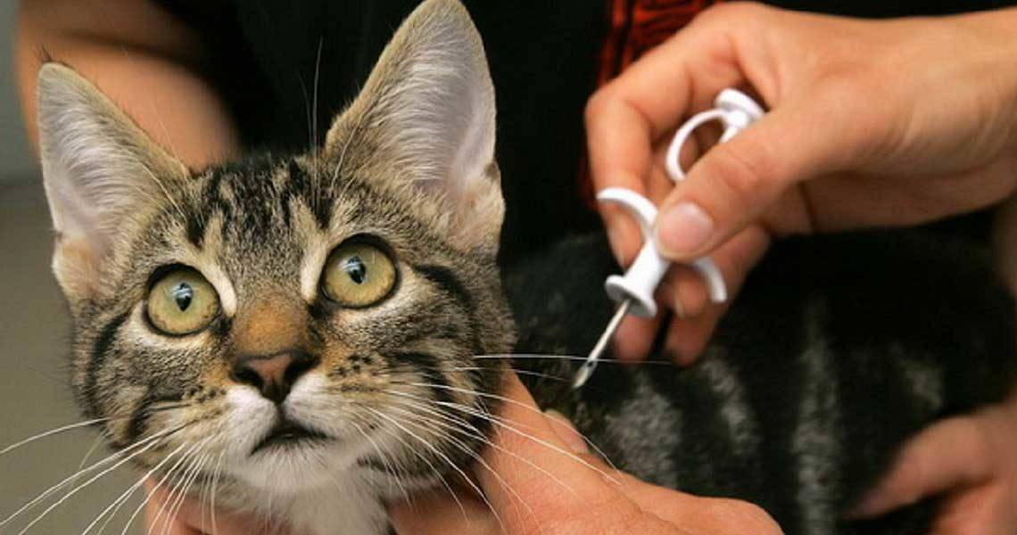 Чипирование кошек: как проводится, цены чипирование кошек: как проводится, цены