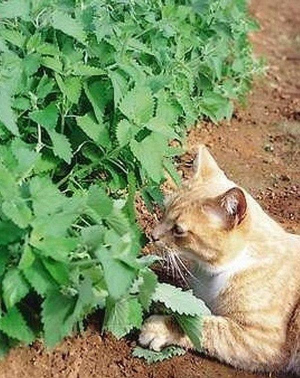 Кошачья мята: для чего она нужна, как это растение действует на кошек?