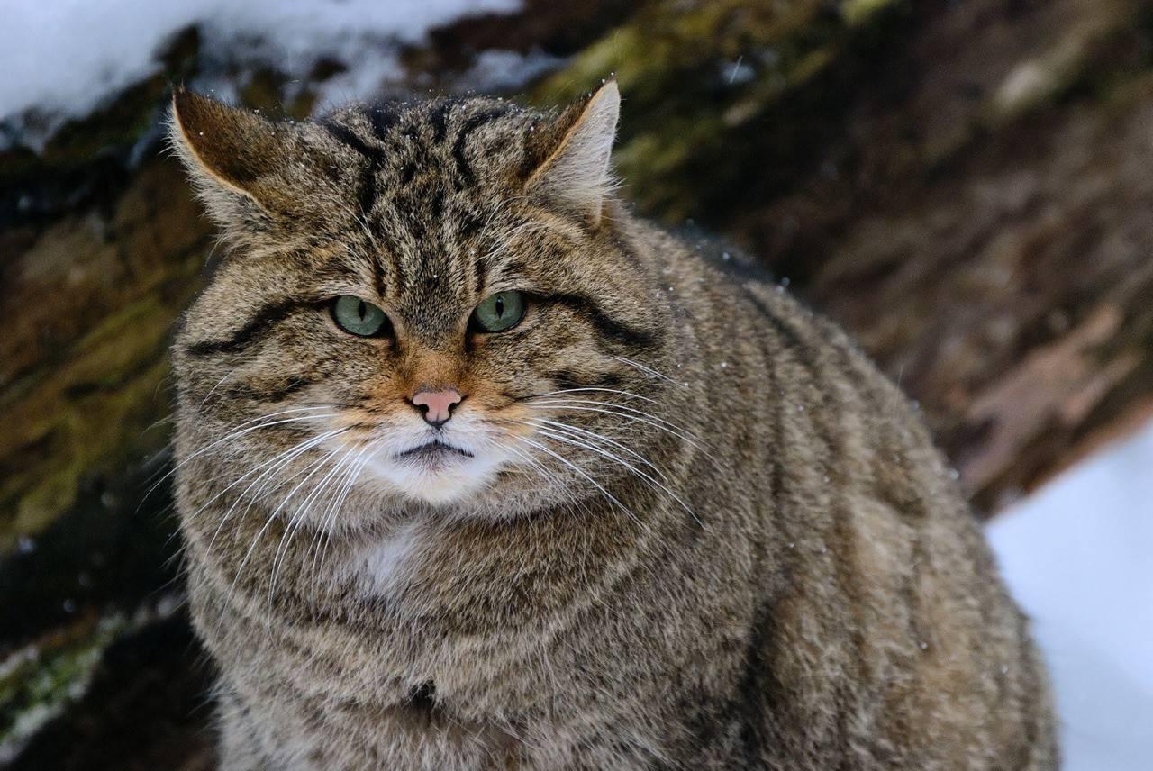 Европейский дикий лесной кот: 50 фото, описание, окрас, характер, среда обитания