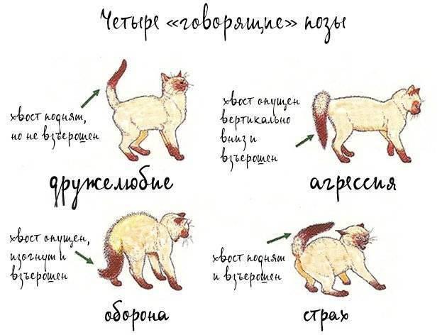 Как успокоить кошку когда она гуляет и помочь во время течки?