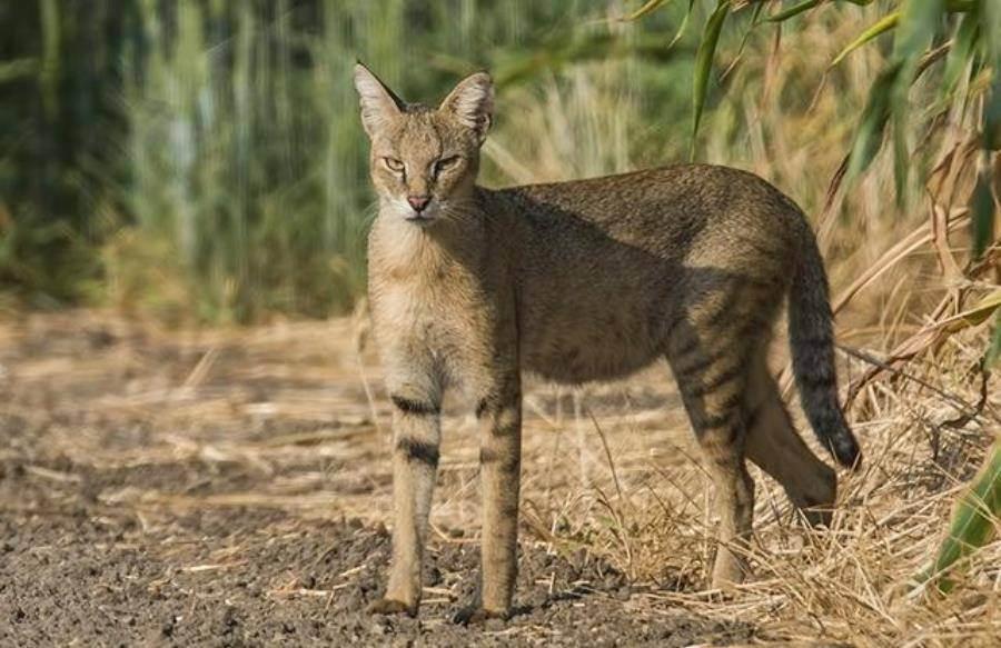 Камышовый кот другое название