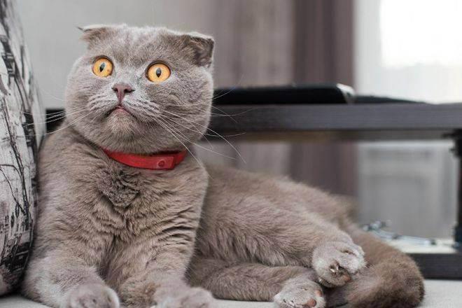 С кем сводить шотландскую вислоухую кошку – скоттиш фолд вязка