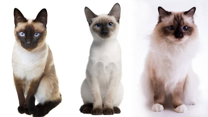 Тайская кошка и сиамская кошка – отличия во внешнем виде, характере, поведении