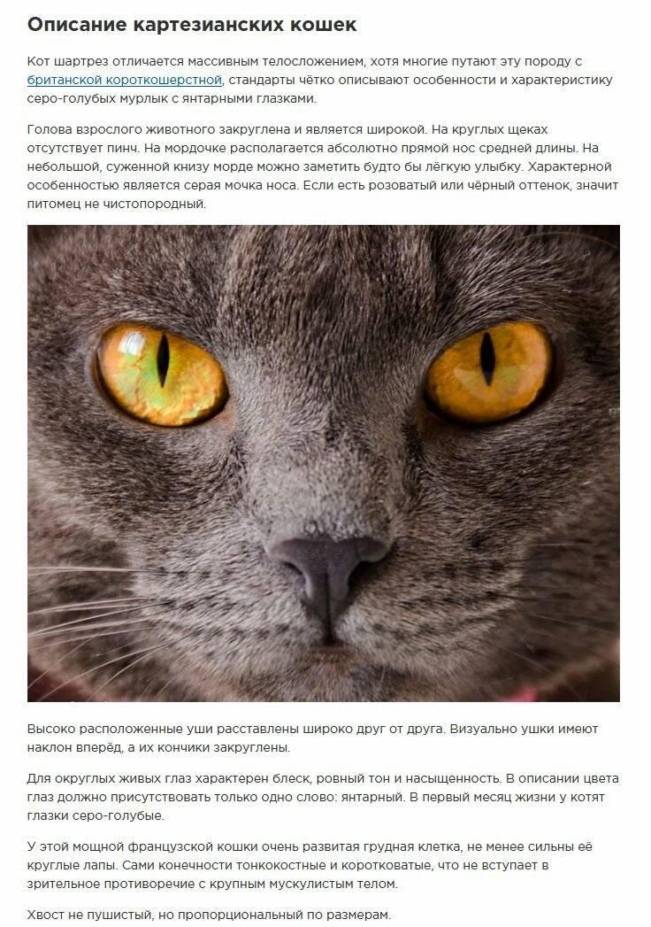 Картезианская кошка: образ жизни, описание и содержание шартреза в домашних условиях