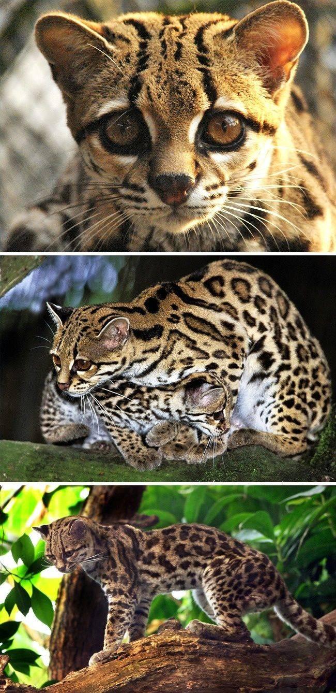 Самые большие кошки в мире – список, размеры, названия, где обитают, фото и видео - «как и почему»