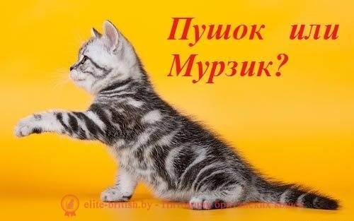 Как назвать британскую кошку-девочку серого цвета?