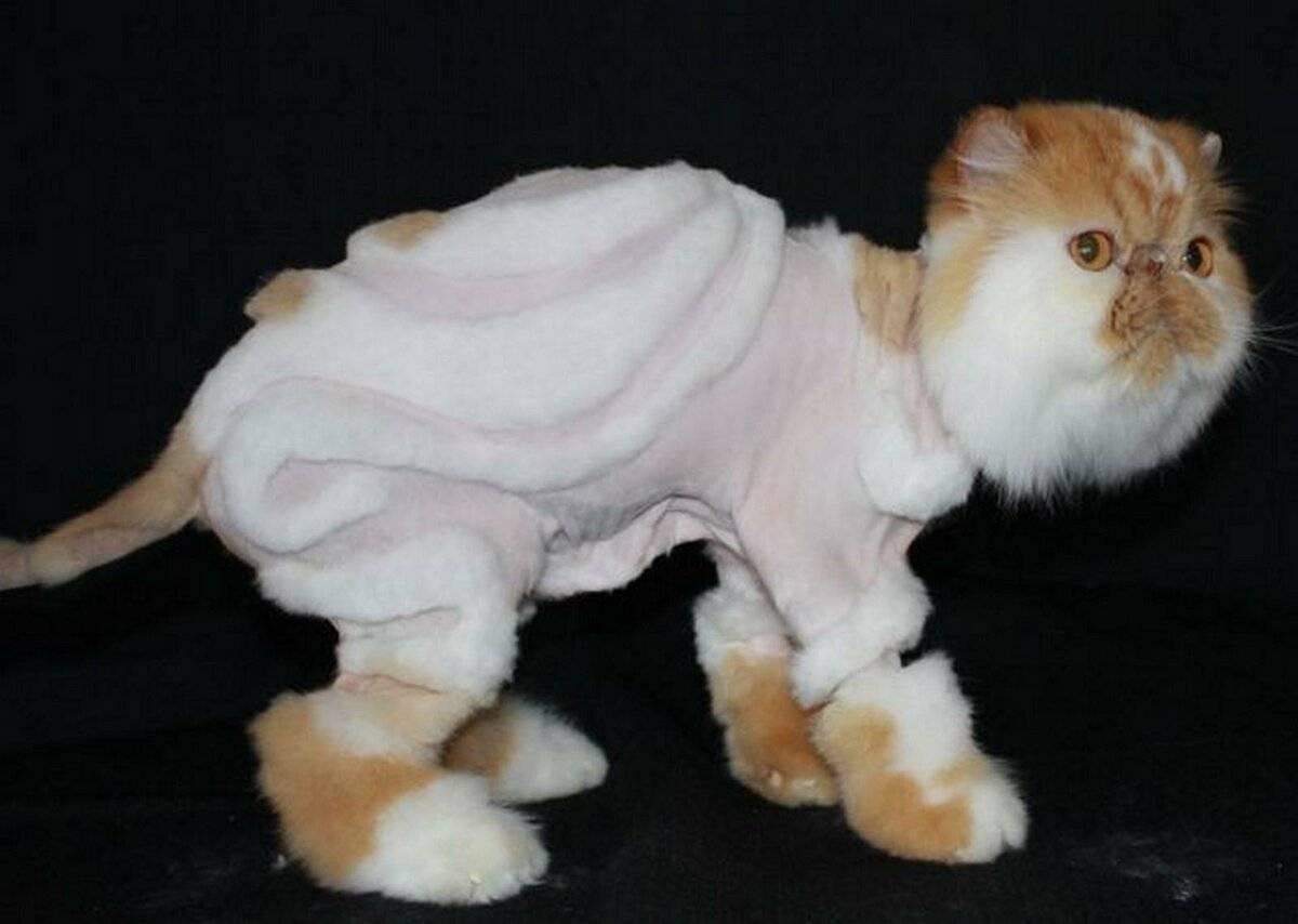 Шотландская вислоухая кошка (стрижка, вычесывание)
