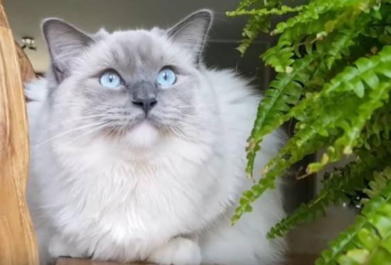 Как выбрать котенка рэгдолл – советы и рекомендации