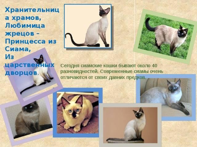 Тайская кошка и сиамская, отличия с фото: в чем разница между этими породами?