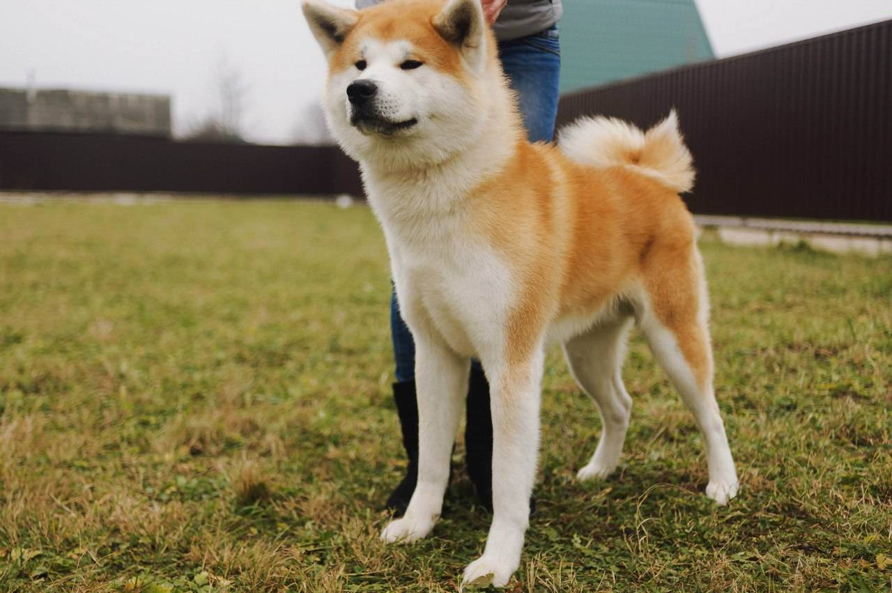 Японский хин: описание породы и фото, недостатки характера собаки