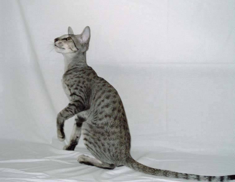 Кошка с длинными лапами