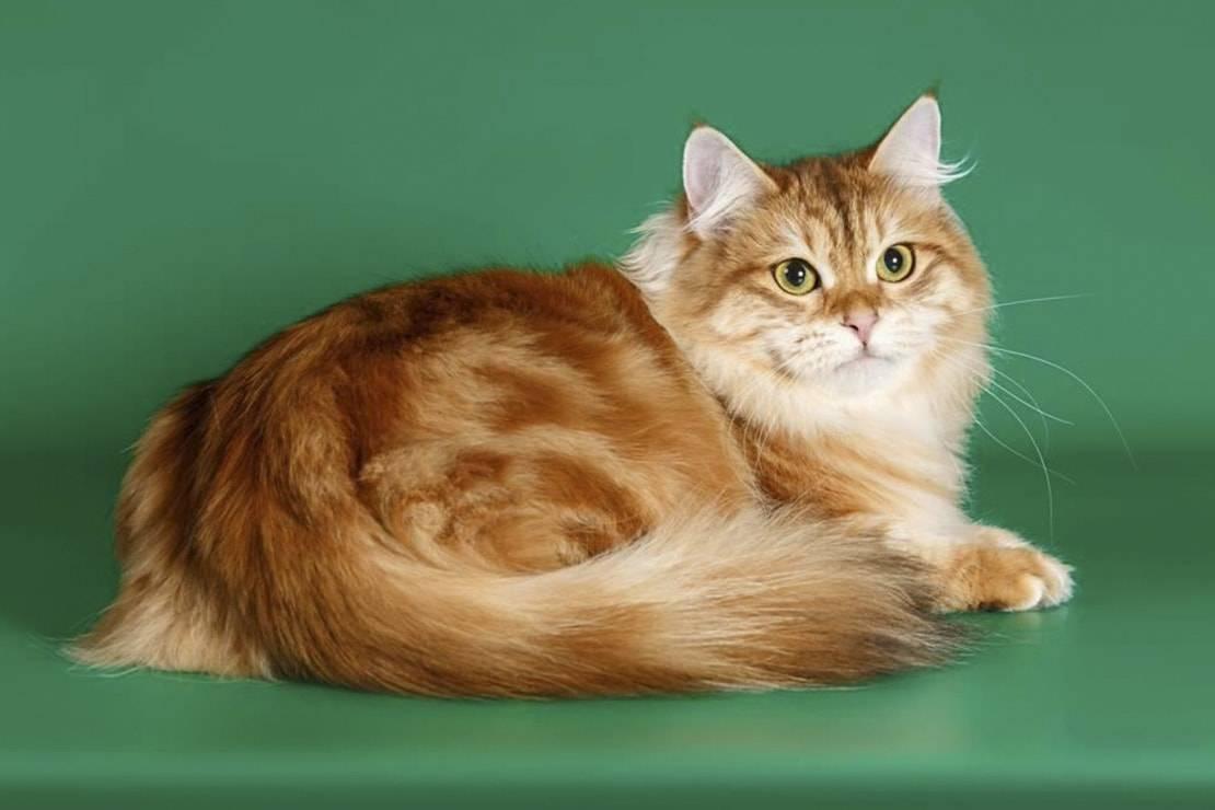 Рыжие коты (фото): солнечные символы счастья, тепла и материального благополучия - kot-pes