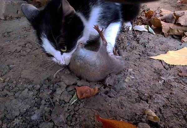 Кот съел отравленную мышь: что делать в домашних условиях, как помочь кошке?