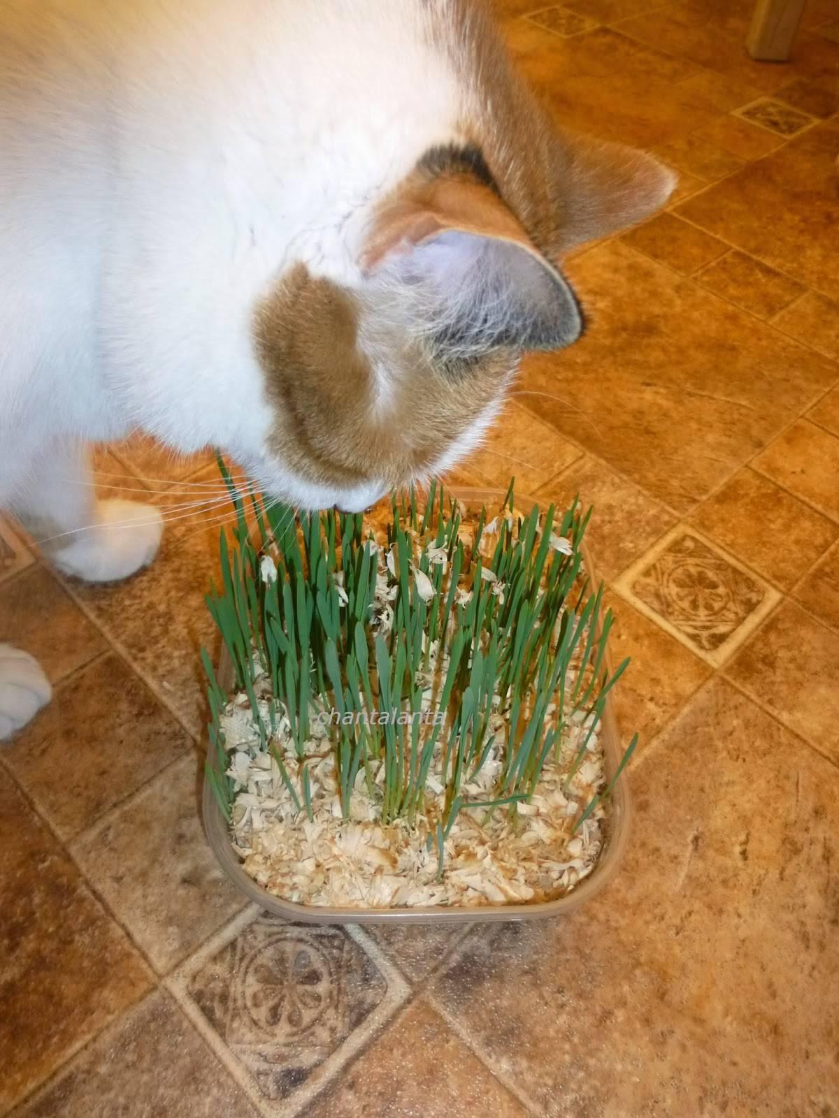 Какую траву любят кошки: перечень и метод выращивания