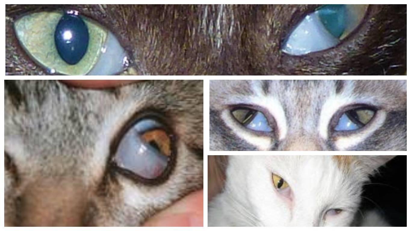 Аденома третьего века у кошки: причины и лечение