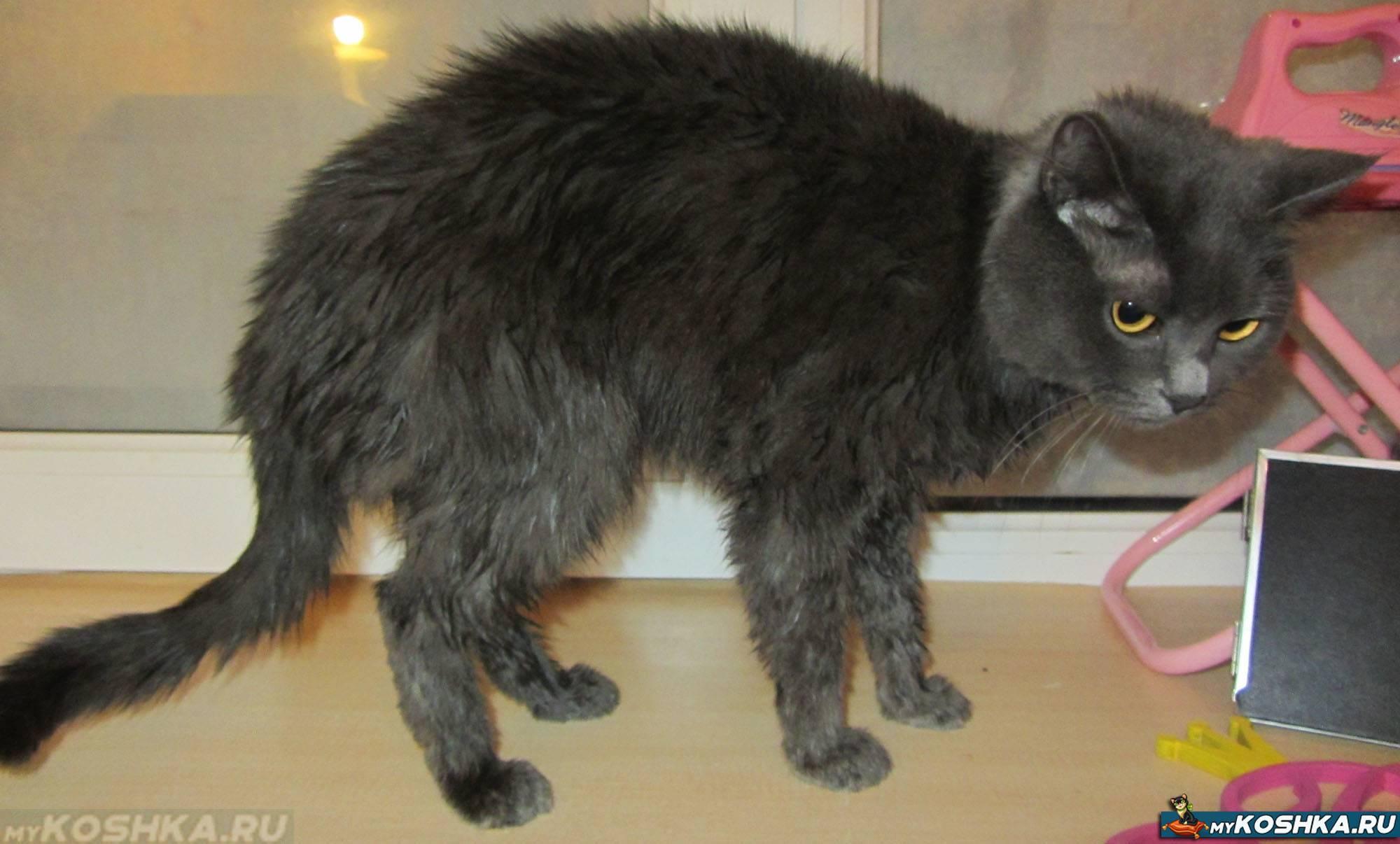 Выпадение шерсти у кошек: по каким причинам происходит и как лечить питомца