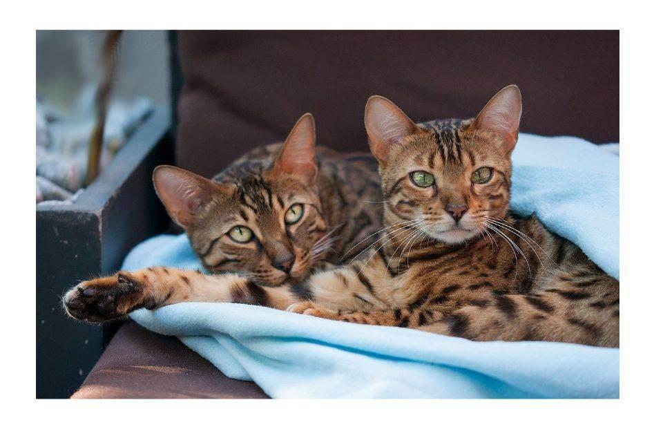 Вязка кошек сколько дней — рассказываем по порядку