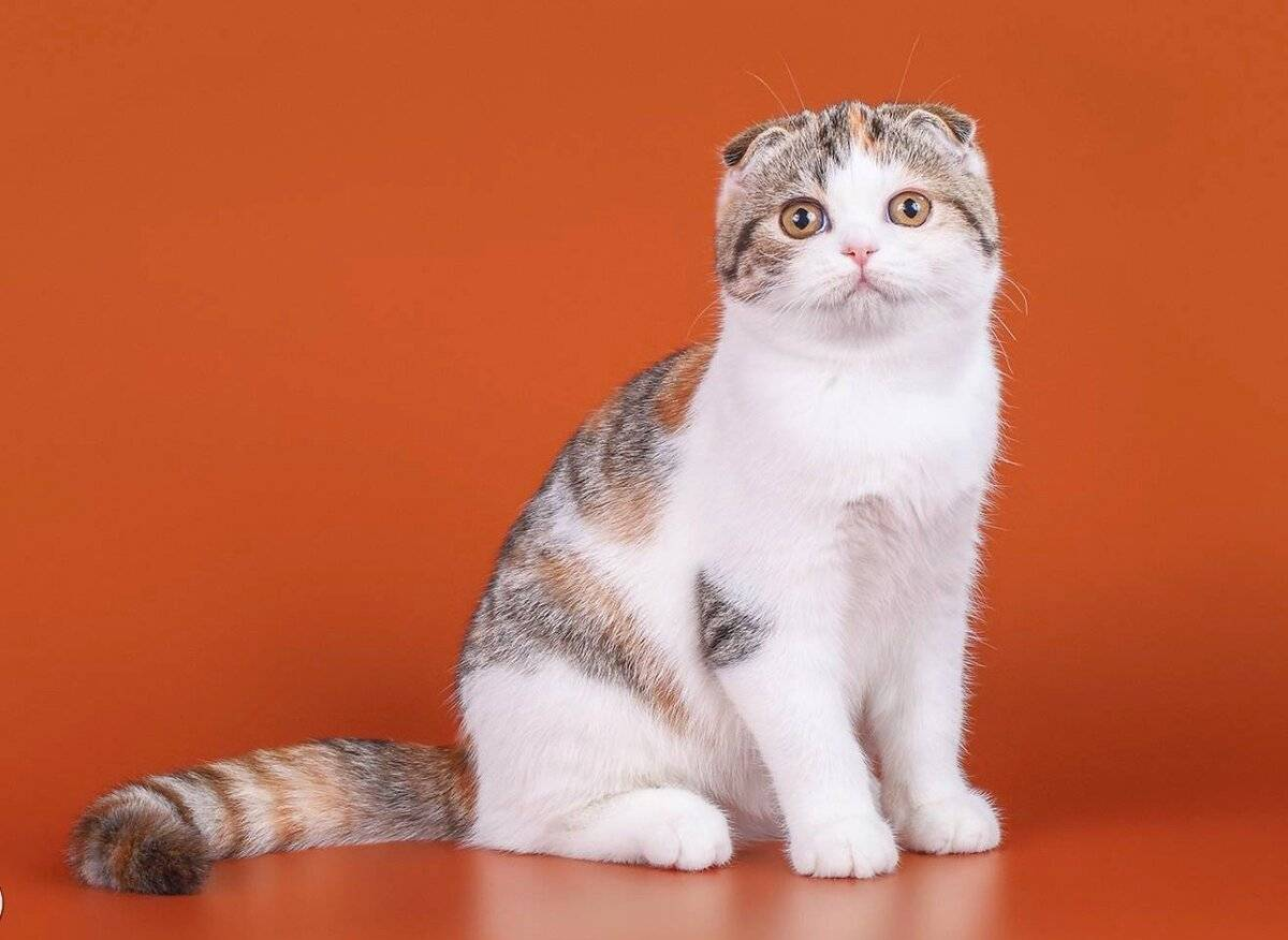 Шотландские мраморные коты (16 фото): особенности окраса, описание породы и характера, тонкости ухода за взрослыми котами и котятами