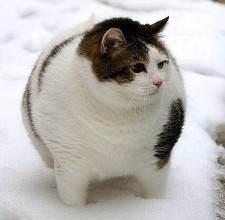 Как похудеть коту, как составить здоровую диету для кота
