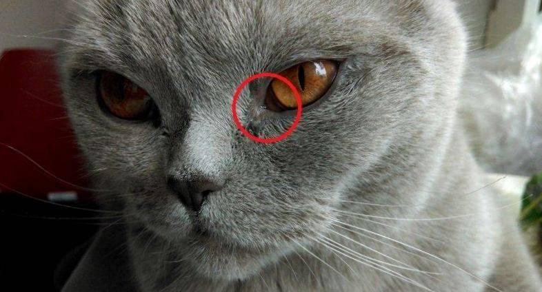 Слезятся глаза у кошки: что делать