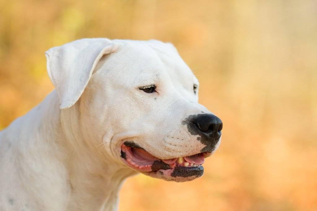 Аргентинский дог: описание породы и характер собаки