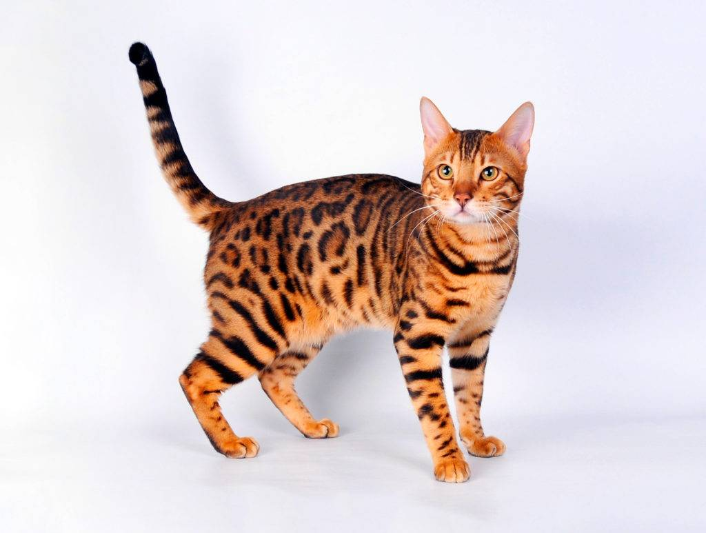 Бенгальская кошка: фото, цена, описание породы, отзывы и характер