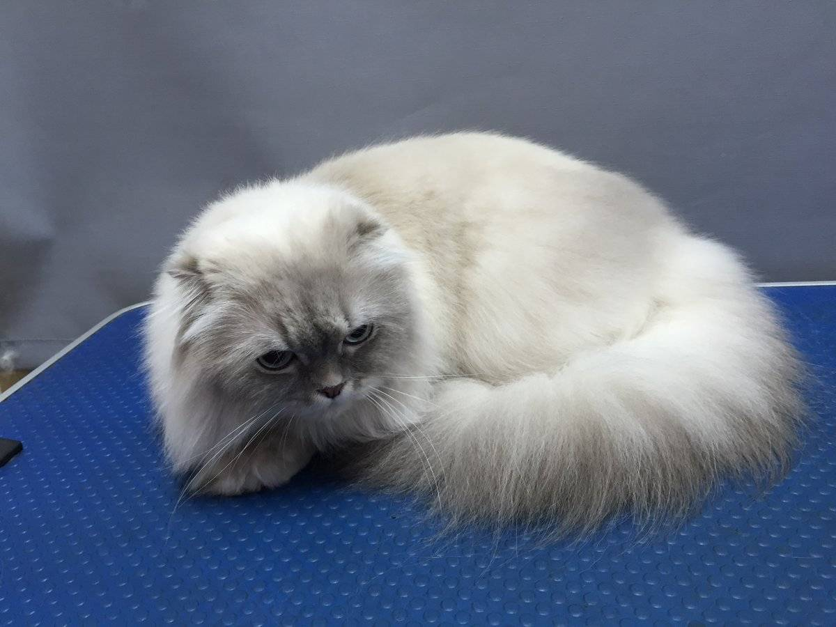 Груминг сиамской кошки: уход за шерстью, стрижка и купание сиамской кошки | породы кошек