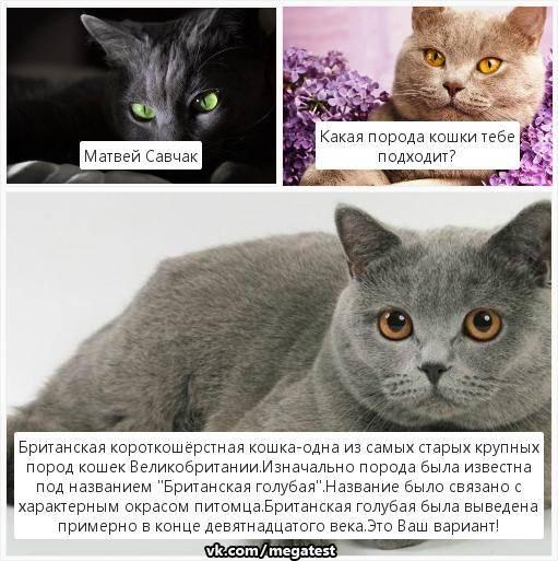 Особенности британских котят и их стоимость