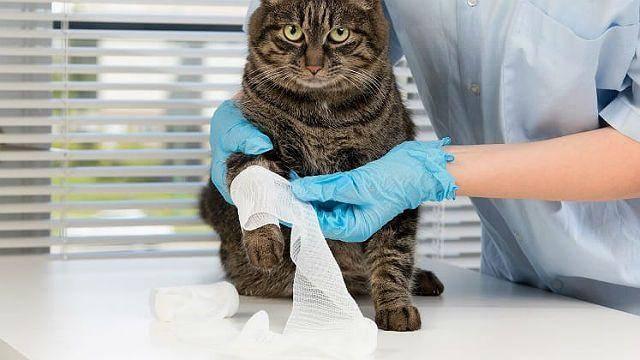 Перелом лапы у кошки лечение в домашних условиях: как определить ушиб или перелом?