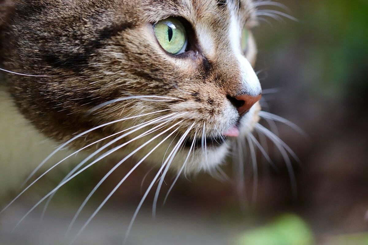 Зачем кошке усы и почему их нельзя стричь?