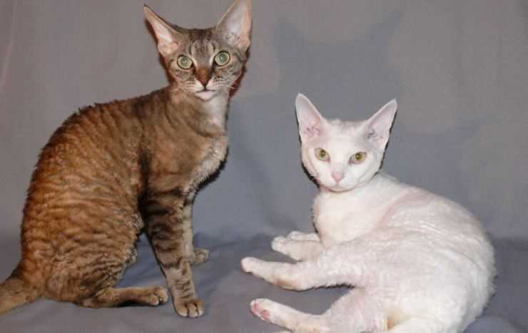 Серенгети кошка. описание, особенности, уход и цена кошки серенгети | животный мир