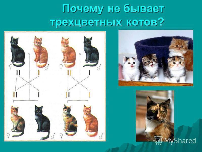 Трехцветная кошка. особенности, приметы и характер трехцветных кошек   животный мир