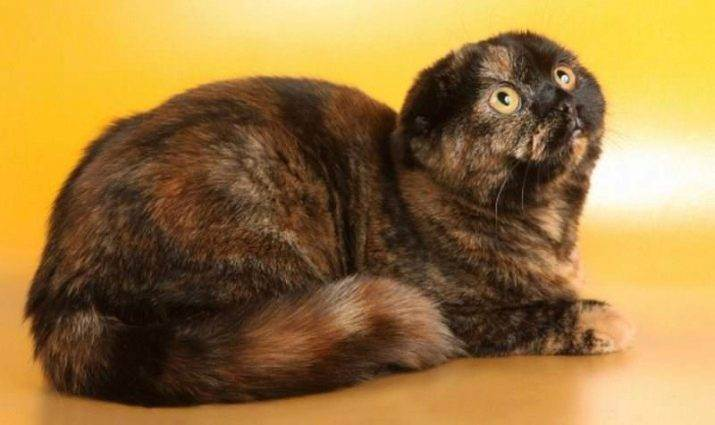 Шотландский кот черного окраса (21 фото): особенности окраса, описание породы, особенности ухода за взрослыми котами и котятами