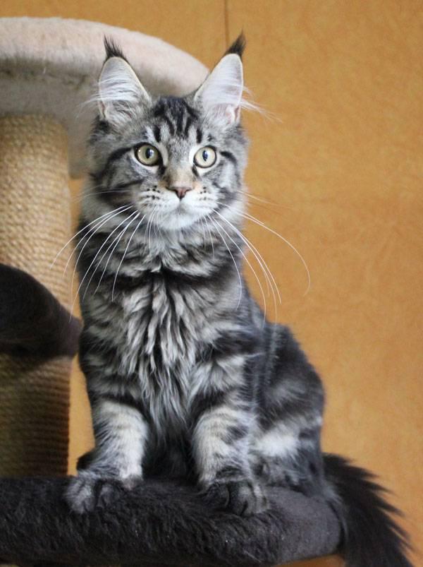 Окрасы кошек и котят породы мейн кун