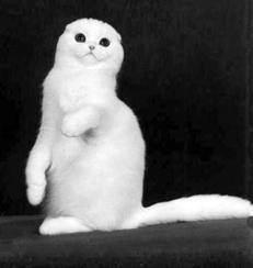 Описание и особенности шотландских вислоухих кошек
