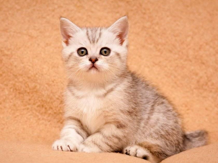 Топ популярных кличек для котов мальчиков британцев: обозначение кличек