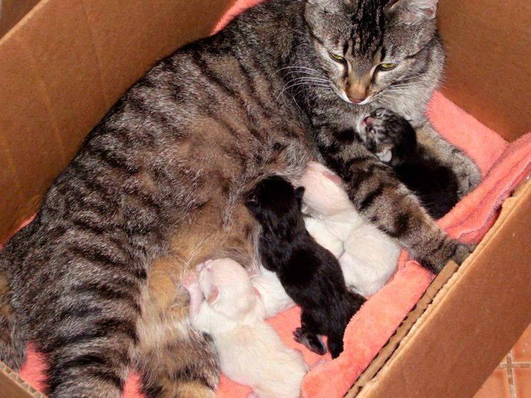 Может ли забеременеть кошка во время кормления? да!