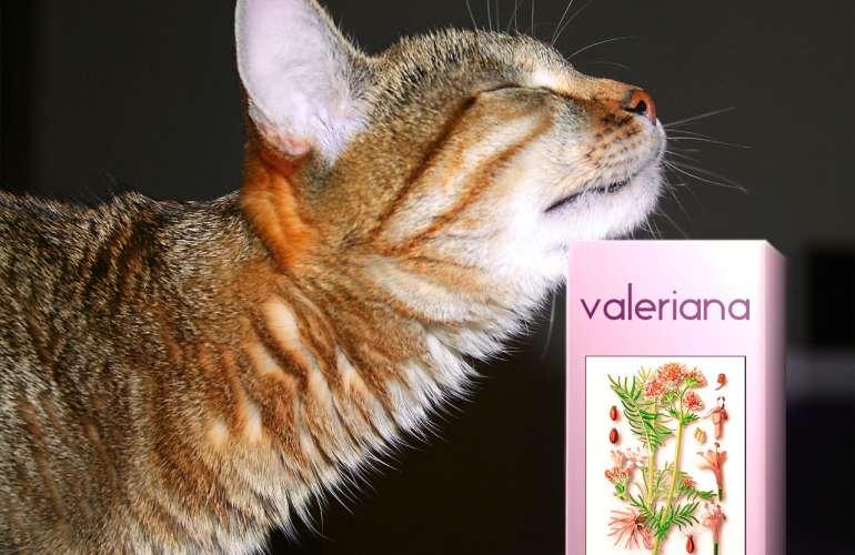 Валерьянка для кошек: как действует, что будет если дать валерьянка для кошек: как действует, что будет если дать