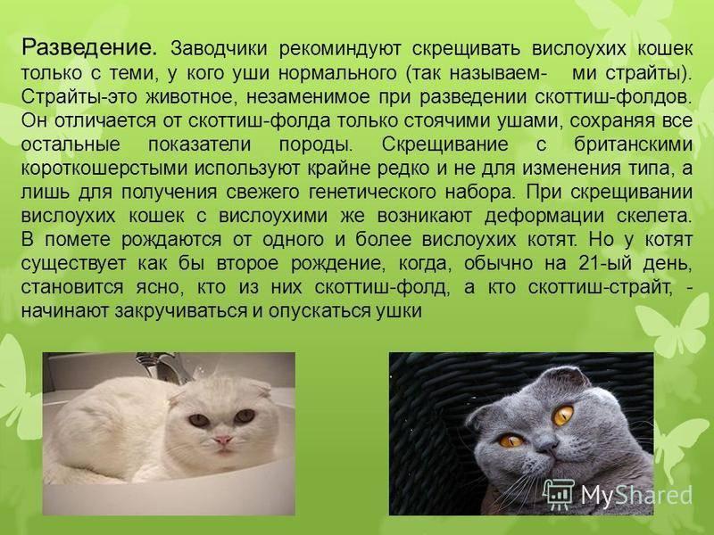 Чем кормить шотландского котенка: рацион питания малышей по месяцам в домашних условиях