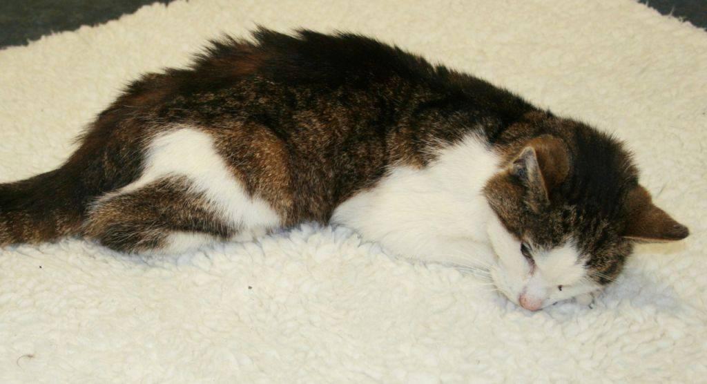 Как лечить у котов увеличение печени - муркин дом
