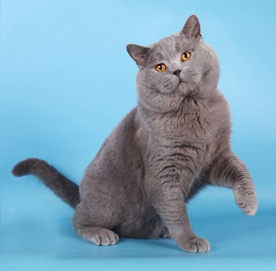 Британская короткошерстная кошка: описание породы, характер, фото
