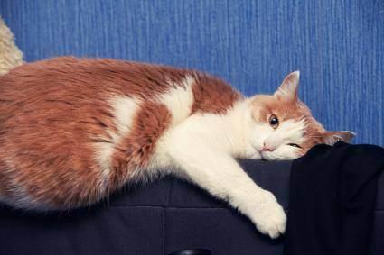 Учимся любить кошек с гипертиреозом. гипертиреоз у кошек: симптомы и лечение