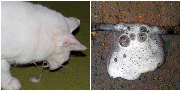 Рвет котенка пеной белого цвета: каковы причины и что следует делать?