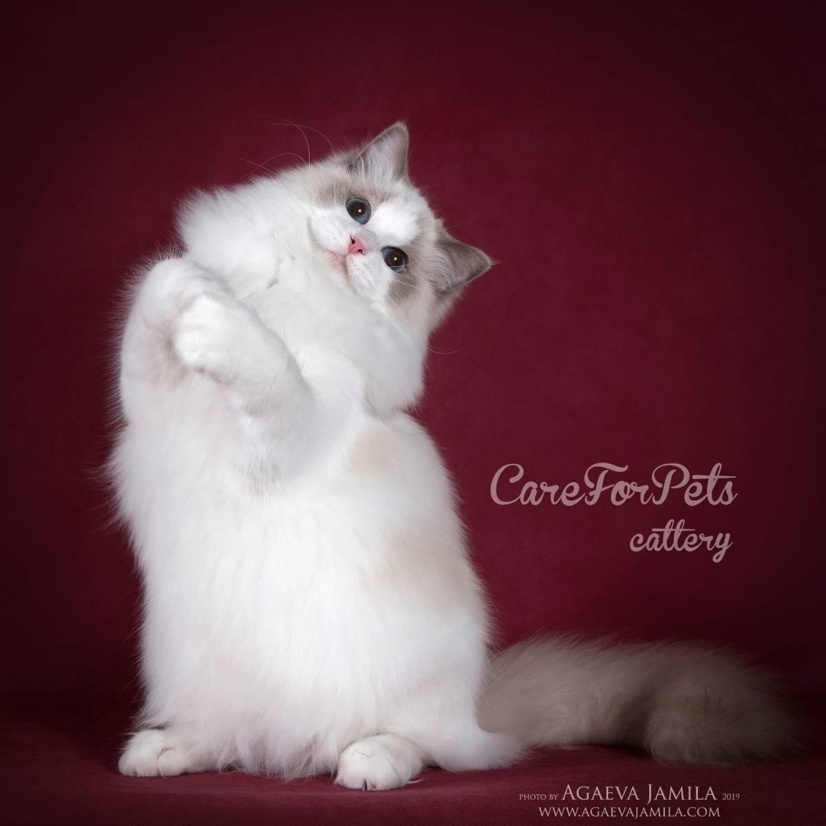 Порода кошек рэгдолл, описание окрасов и фото, а также их характер, стандарты и размеры