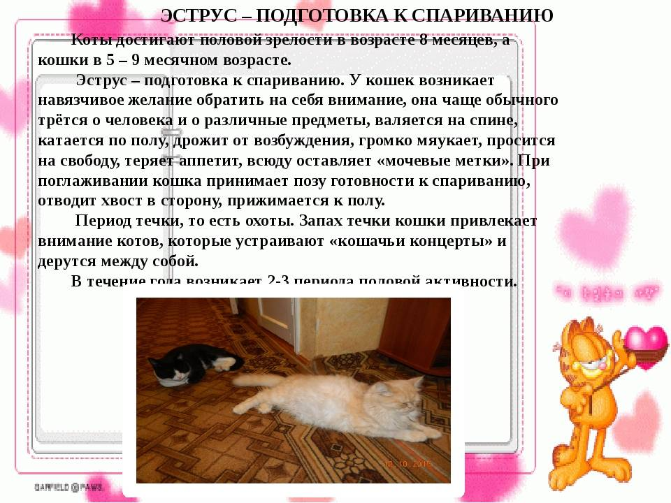 Как узнать сколько котят будет у кошки - oozoo.ru