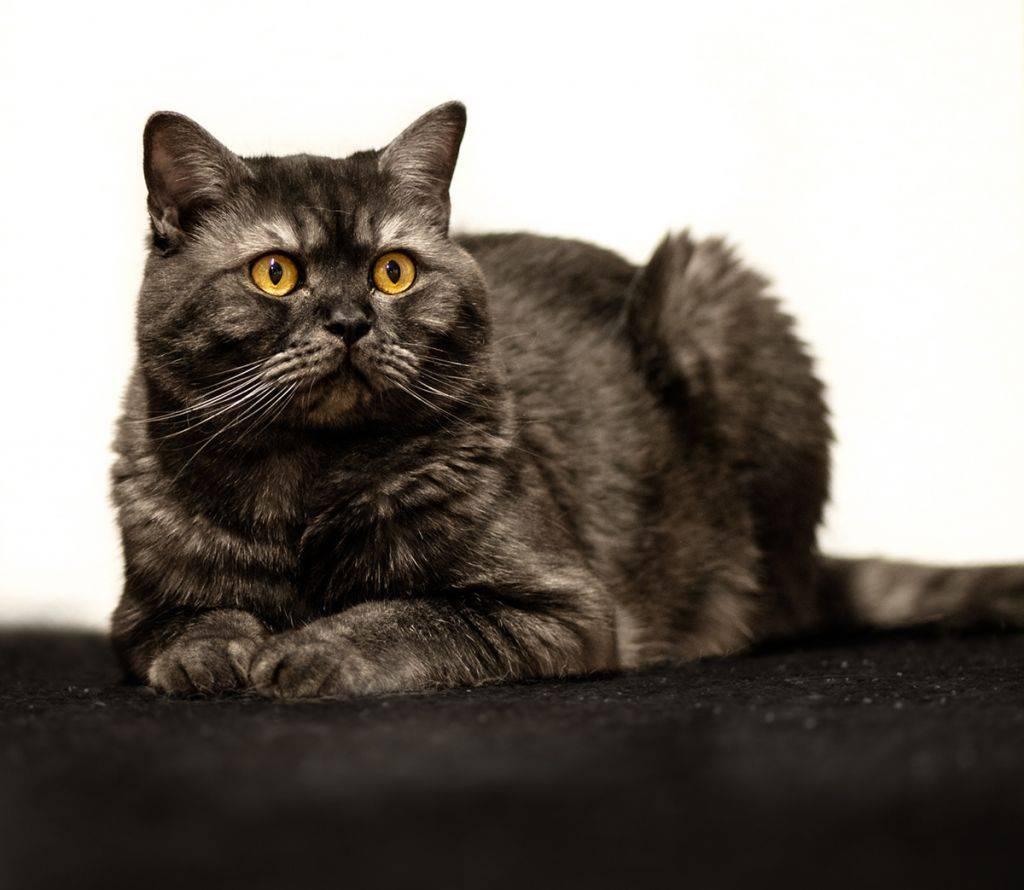 Британская порода кошек: виды, описание, как ухаживать, окрасы, разновидности, стандарт, характер