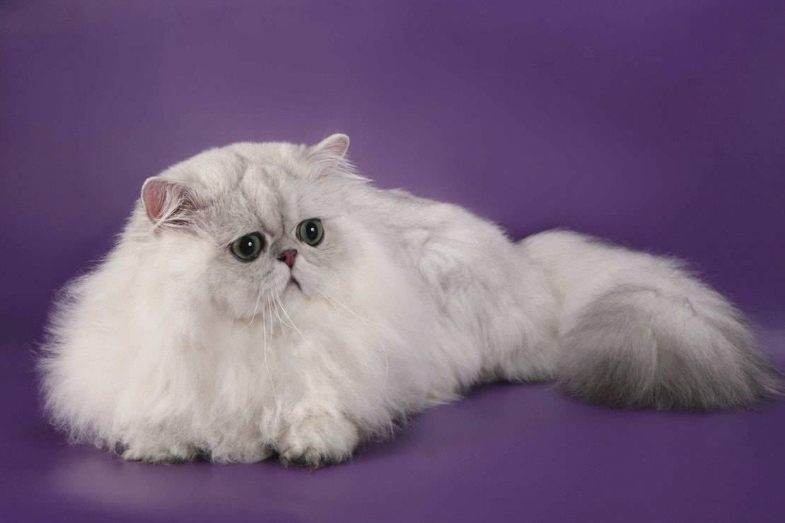 Персидская кошка – аристократ до глубины души