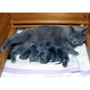 Сколько длится беременность у кошек британской породы: этапы и сроки