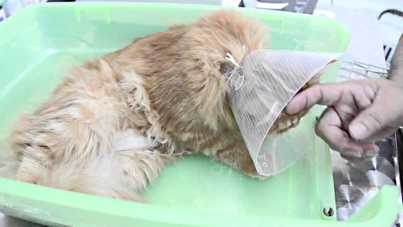 Подготовка кота к кастрации, послеоперационный уход в первый день